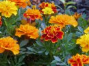 Marigolds in the summer garden.