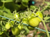 Grape tomatoes are doing better after a brief bout with blossom drop