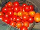 Cherry tomatoes always a good producer