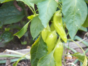 Sweet banana peppers coming back after a sketchy start.  Not out of the woods yet with wet weather still around.