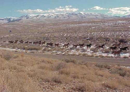 Wild horses run in Simpson Park, Nevada on land managed by the BLM.
